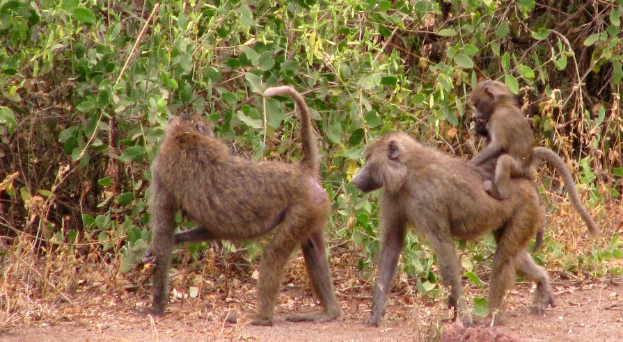 Baboons are curious and strong and can be big trouble for remote cameras.