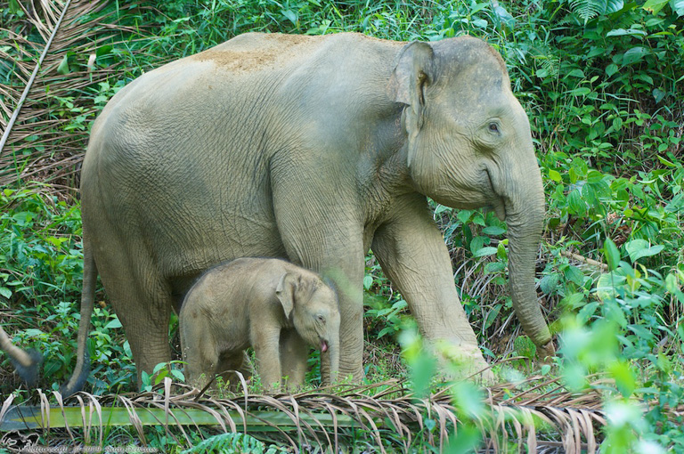 Elephant cow and her offspring in a palm oil plantation in the Kinabatangan. Photo courtesy of Rudi Delvaux.