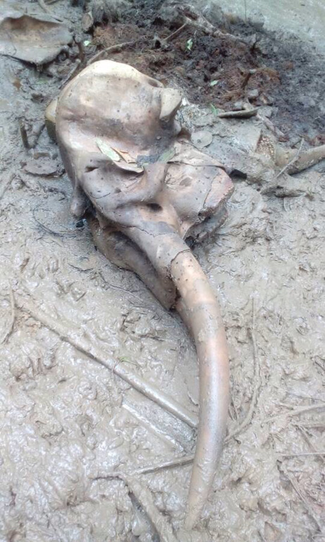 The skull and tusks of a Bornean elephant after being found killed in Ulu Segama Forest Reserve recently. Photo courtesy of the Sabah Forestry Department.