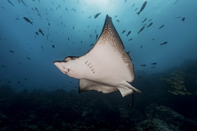 Mantaray, northwest Galápagos. Photo by Greg Asner / DivePhoto.org