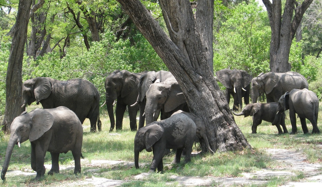 Elephant herds have a recognized social structure, and the knowledge accumulated by the older adults are critical to the herd's survival and well-being. Poaching of elephants with large tusks devastates elephant society.