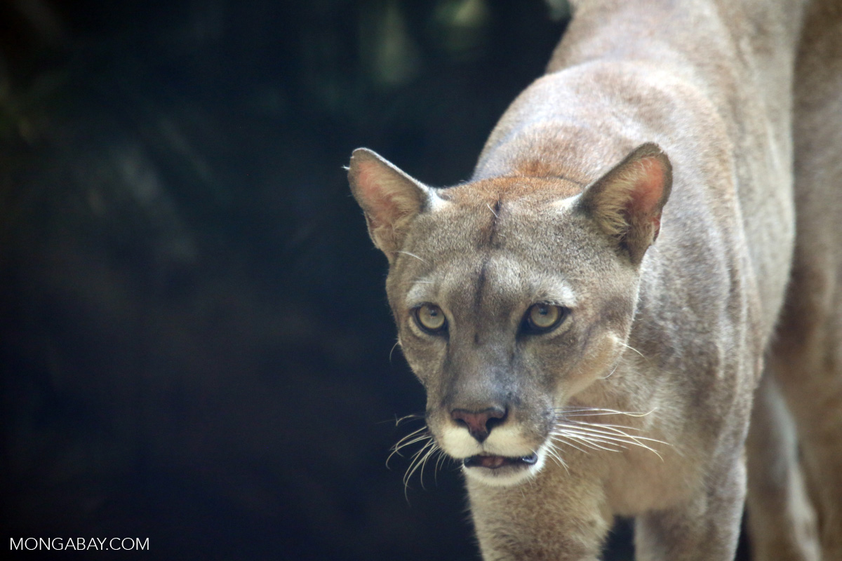 Mountain lions often lose to wolves and bears study finds biocorpaavc