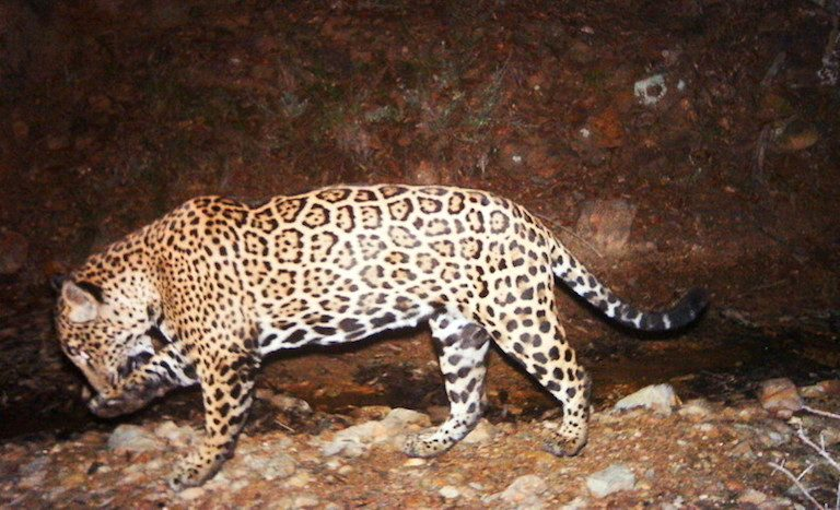 A camera trap image of a jaguar in Arizona, where three of the big cats have been documented in recent years. They are thought to have made their way into the U.S from Mexico. Photo courtesy of U.S. Fish and Wildlife Service.