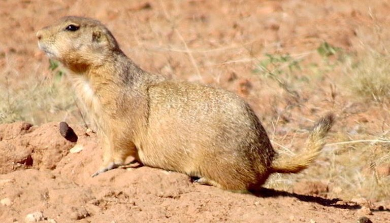 A prairie dog (Cynomys ludovicianus) near the San Pedro River. The species is listed as threatened in Mexico. Photo by Gerardo Carreon-Arroyo.
