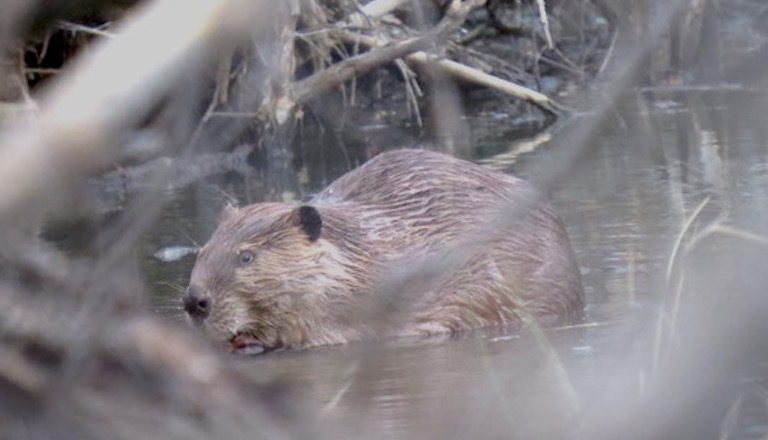 A beaver (Castor canadensis). A small population of the species, which is listed as in danger of extinction in Mexico, lives in the Rancho Los Fresnos wildlife reserve. Photo by Gerardo Carreón-Arroyo.