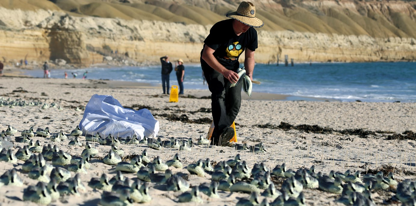 Lead author Jarrod Hodgson establishes a faux tern colony by positioning the rubber ducks according to a predesigned matrix on the beach.