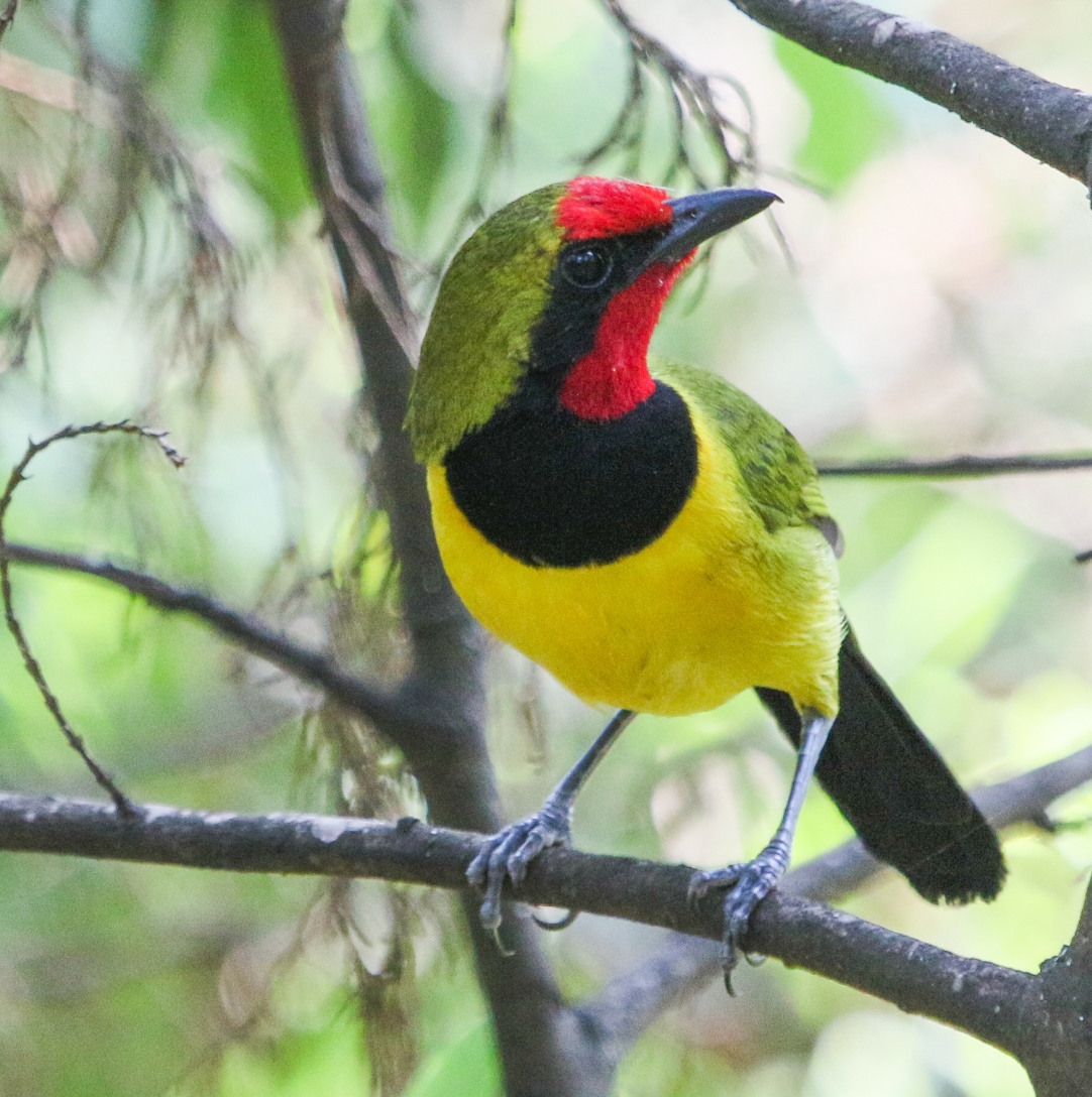 Hard-to-find Doherty's bushshrike in Uganda. Data sets from multiple studies can help identify changes in species distributions over time