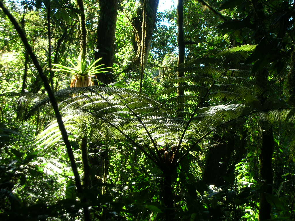 Tree fern in cloud forest interior, Costa Rica.