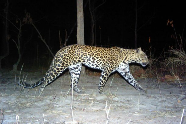 Cambodia's banteng-eating leopards edge closer to extinction, new study finds
