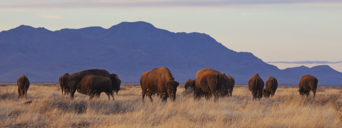 Bison in Chihuahua, Mexico, where protected grasslands in the U.S. and Mexico create a bi-national wildlife corridor. President Trump's border hardening plans threaten the continuity of this habitat, and existing fencing has already curtailed the bison's movements. Photo by Rurik List.