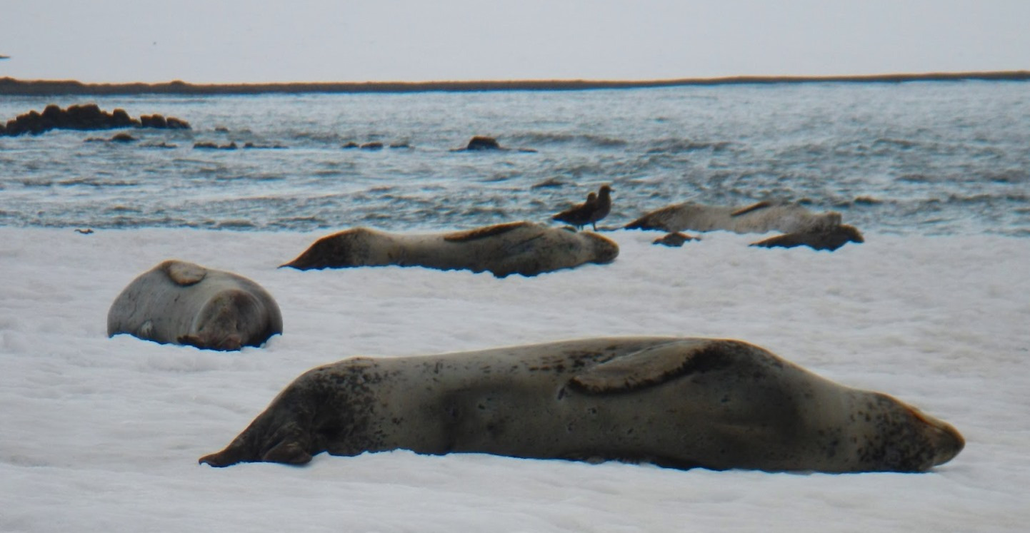 Leopard seals hauled out in the Antarctic. Scientists took aerial photos of seals when they were on land.