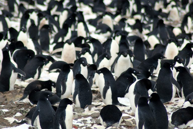 The researchers found that the Danger Islands have 751,527 pairs of Adélie penguins—more than the rest of the entire Antarctic Peninsula region combined. They include the third and fourth largest Adélie penguin colonies in the world. Credit: Michael Polito, © Louisiana State University