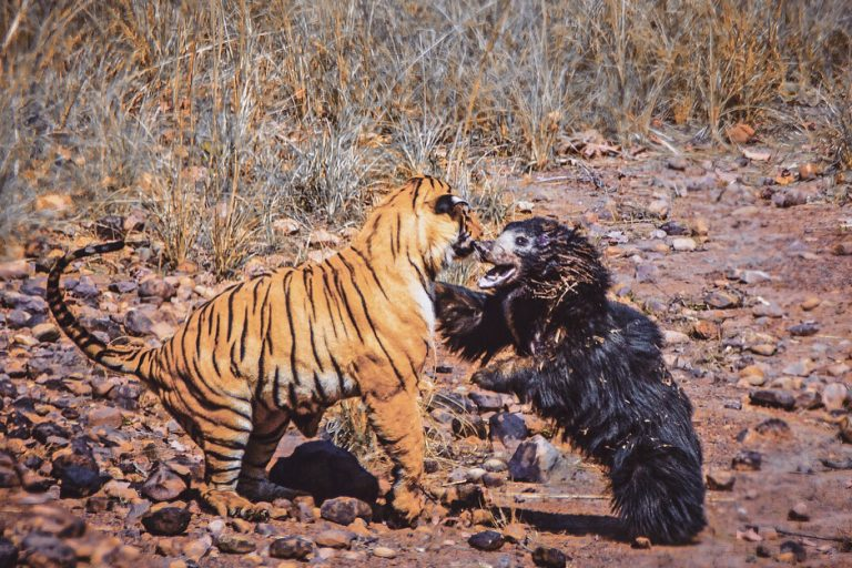 Screen capture of footage shot by Akshay Kumar of the battle between a male tiger and a mother sloth bear over access to a water hole in Maharashtra's Tadoba National Park.