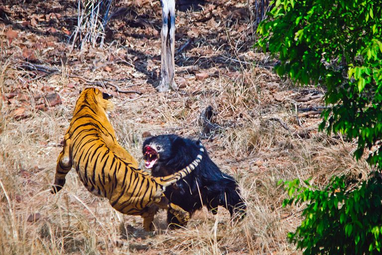 Mother sloth bear charging a male tiger in Tadoba National Park. Photo by Akshay Kumar, the chief naturalist at Bamboo Forest Safari Lodge.