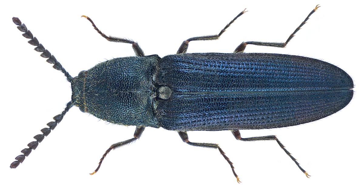 Europe's beetle species plummet as trees disappear