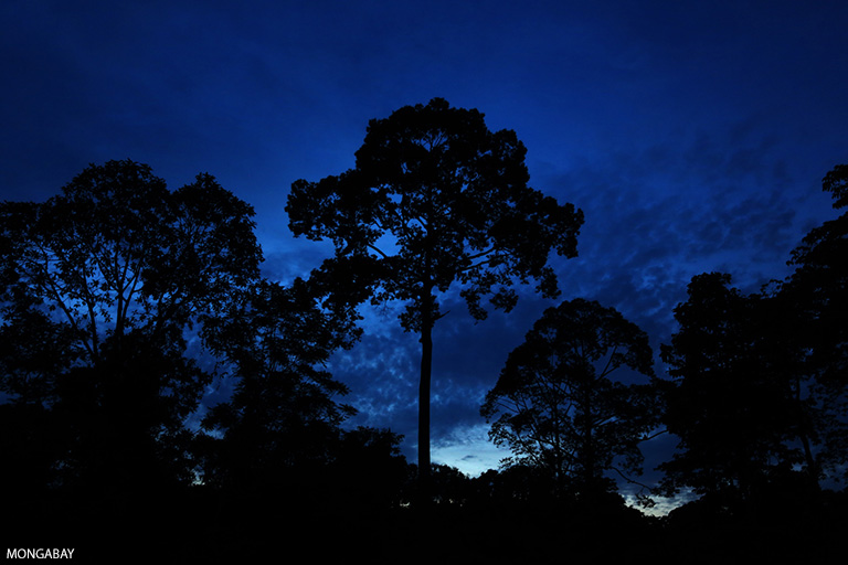 Rainforest at twilight in Borneo. Photo by Rhett A. Butler