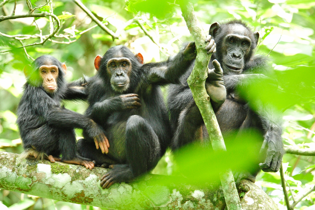 Chimpanzees rely on the rainforest of the Congo Basin for food, shelter, and survival.