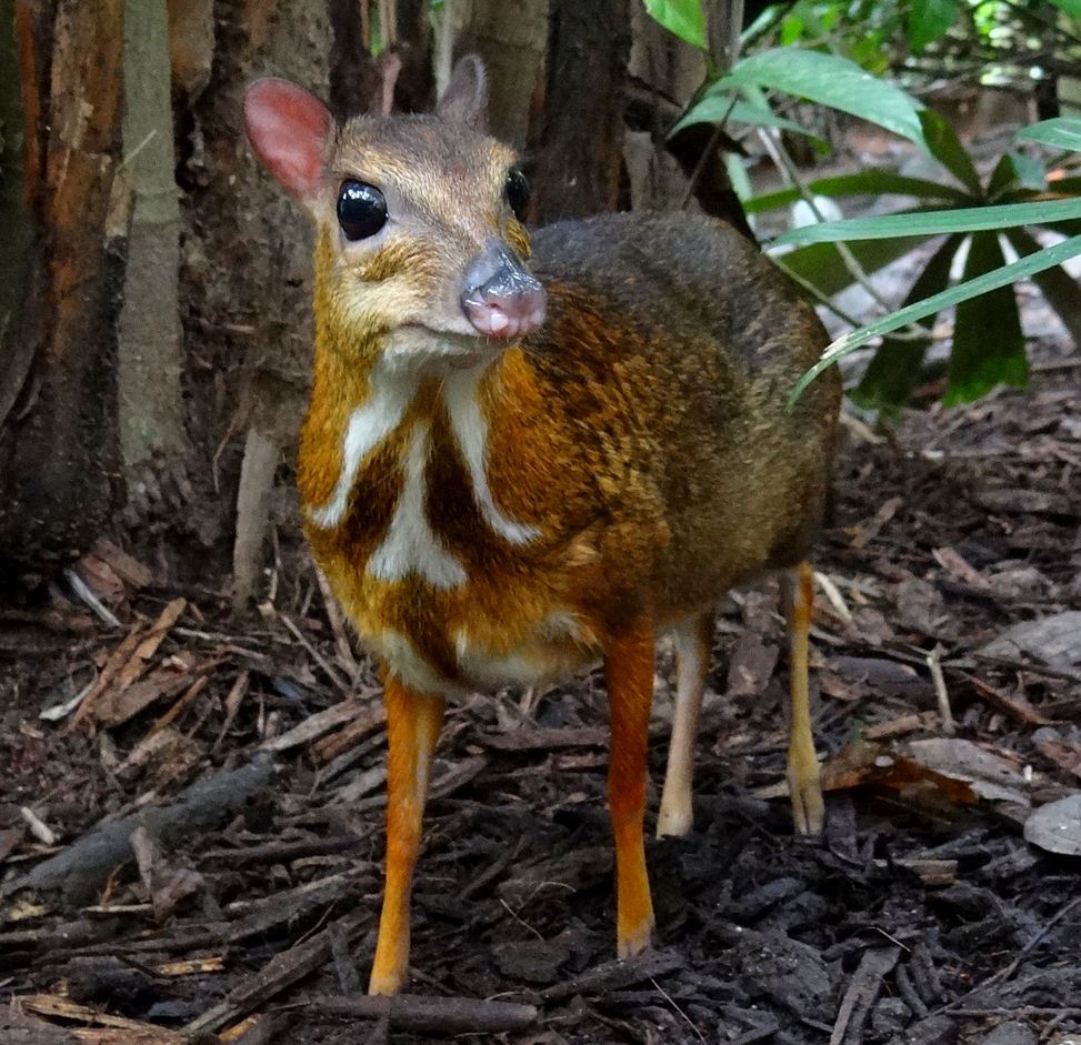 The world's smallest deer, a mouse deer, is just one of a broad spectrum of Asian mammals preyed upon by leeches.