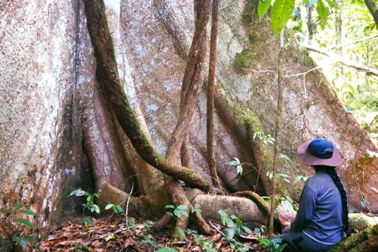 Ancestral trees of the Sarayaku community, located in the Ecuadorian Amazon. Photo courtesy of Patricia Gualinga.