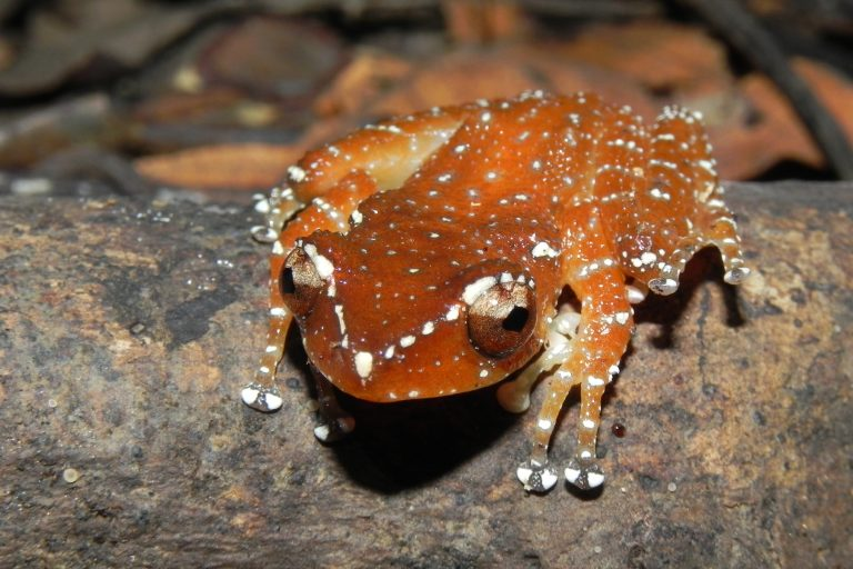 Photo-1-Cinnamon-Tree-Frog
