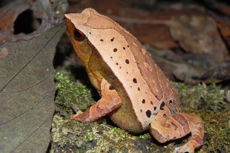 Photo-2-Bornean-Sticky-Frog