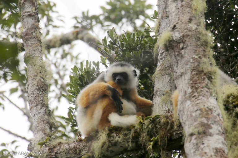 A critically endangered diademed sifaka (Propithecus diadema). One diademed sifaka was killed in the recent poaching incident. Photo by Rhett A. Butler.