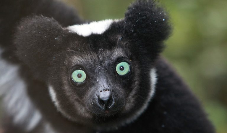 A critically endangered indri lemur (Indri indri). Ten indris were killed in the recent poaching incident. Photo by Rhett A. Butler. A critically endangered indri lemur (Indri indri). Ten indris were killed in the recent poaching incident. Photo by Rhett A. Butler.