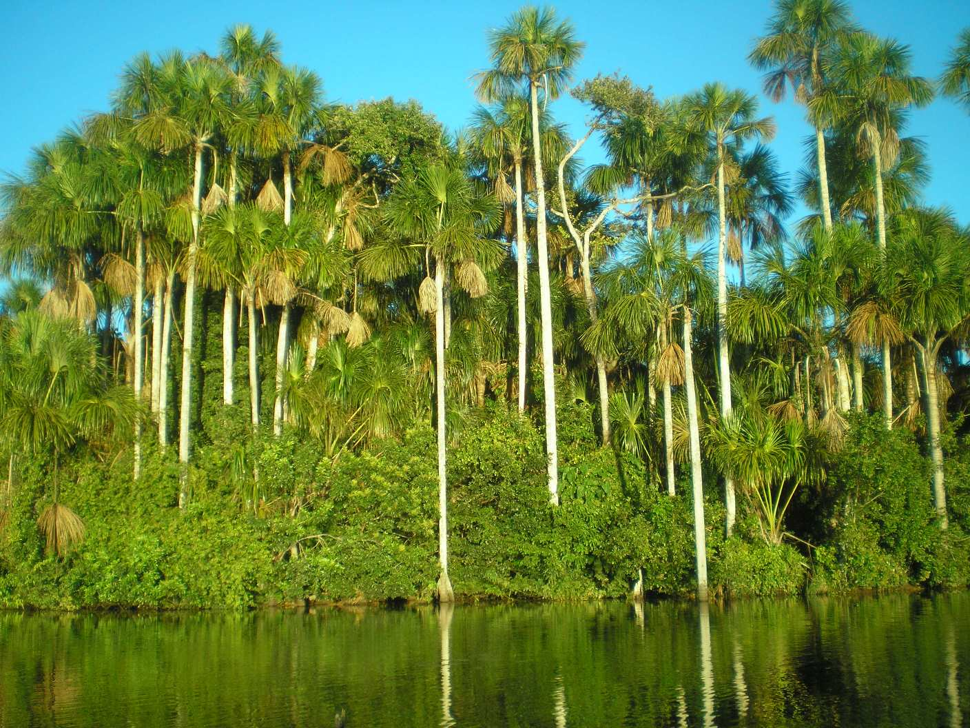 Intact palm swamp along a rainforest lake in southeastern Peru. Miners seek gold in the sediments, cutting trees and inputting harmful mercury into waters to identify the tiny gold pieces in the soil.