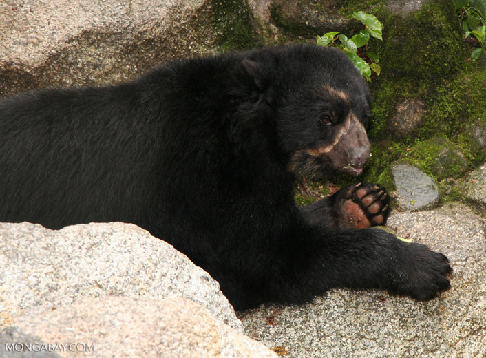 Spectacled bear (Tremarctos ornatus) in Machu Picchu. Photo by Rhett A. Butler.