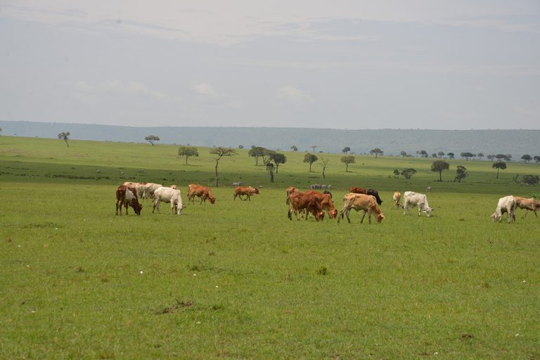 Integrating livestock production with wildlife conservation is a key to the future of the conservancies in the Maasai Mara. Photo Credit: Nicholas Lapham