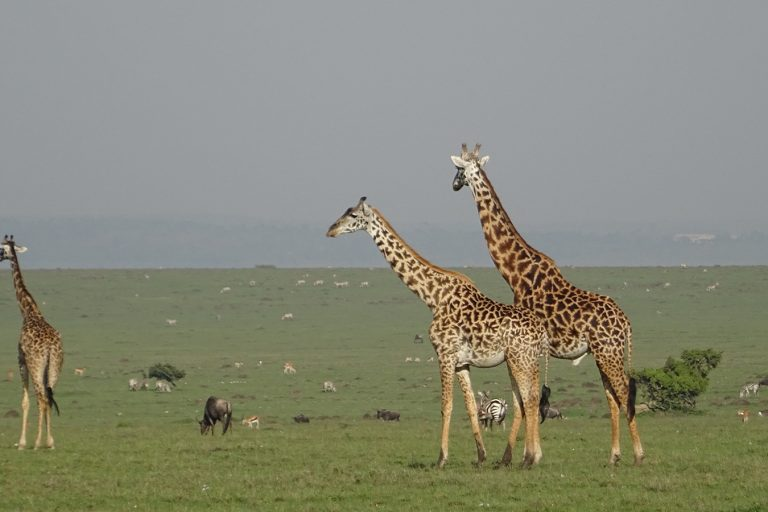 The savannah and grasslands of the Mara conservancies are home to a spectacular abundance of wildlife, lying at the northern end of the greater Serengeti ecosystem. Photo Credit: Maasai Mara Wildlife Conservancies Association