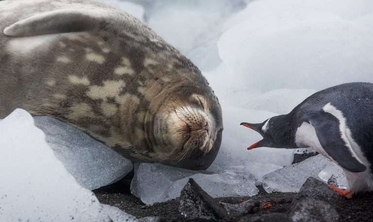 A Weddell seal and a gentoo penguin on Greenwich Island, part of the South Shetland Island group, Antarctica. Photo by Paul Hilton/Greenpeace.