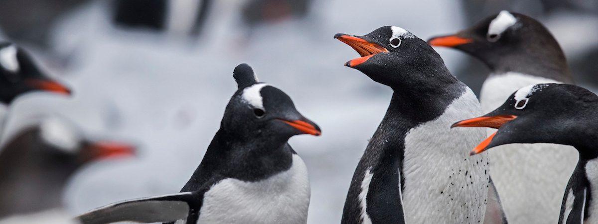 Gentoo penguins on Greenwich Island, part of the South Shetland Island group, Antarctica. Photo by Paul Hilton/Greenpeace.