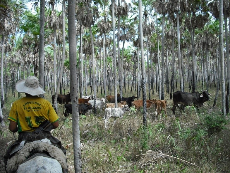 Cowboy takes his cattle through a palm savanna. in Paraguay's Bajo Chaco.