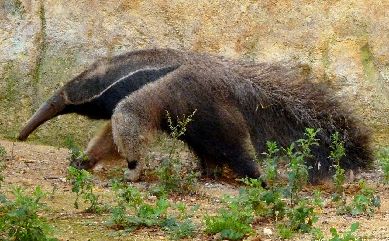 The giant anteater, native to South America, is one of numerous mammalian species residing in the Gran Chaco ecoregion.