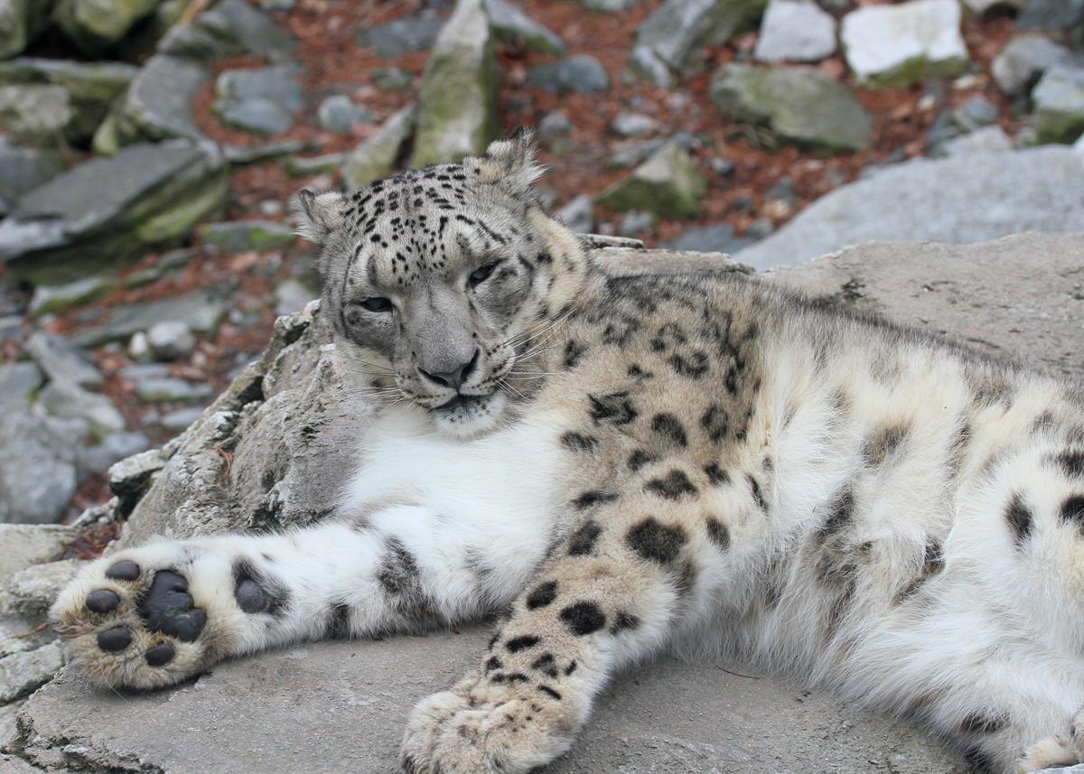 Snow Leopards Biggest Threat Climate Change Takepart