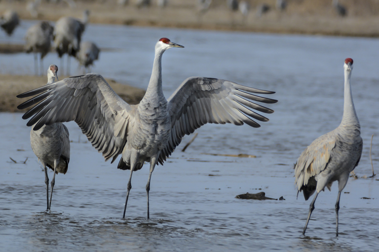 Sandhill Crane National Geographic >> Photos The Great Sandhill Crane Migration Makes Its Annual Stopover