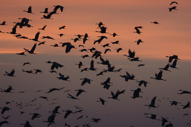 A Night With The Sandhill Cranes At The Crane Trust In >> Photos The Great Sandhill Crane Migration Makes Its Annual Stopover
