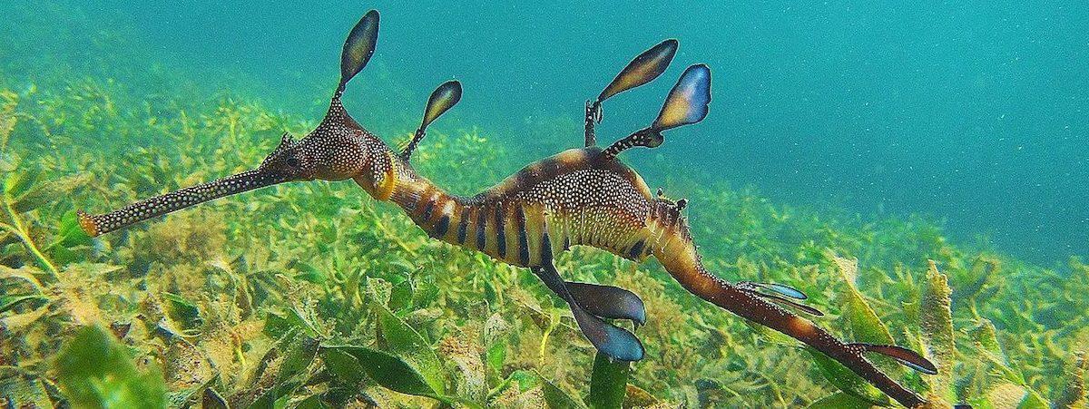 A weedy seadragon (Phyllopteryx taeniolatus), native to southern Australia's coastal waters. Photo by Katieleeosborne via Wikimedia Commons.