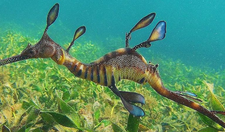 A weedy seadragon (Phyllopteryx taeniolatus), native to southern Australia's coastal waters. Photo by Katieleeosborne via Wikimedia Commons.