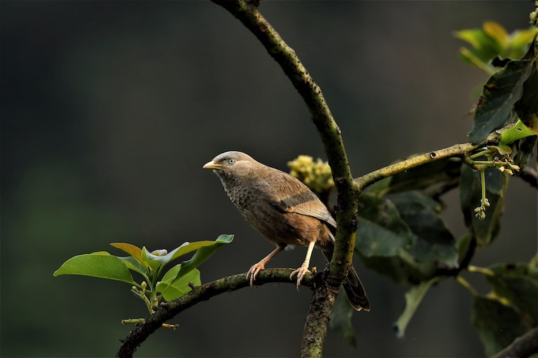 YellowbilledBabbler_Credit-Ly-Lan-Le-Do