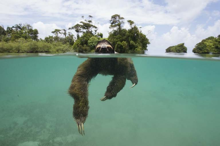 Pygmy three-toed sloth Bradypus pygmaeus Swimming in mangrove forest Isla Escudo de Veraguas, Panama.  Photo by Suzi Eszterhas.