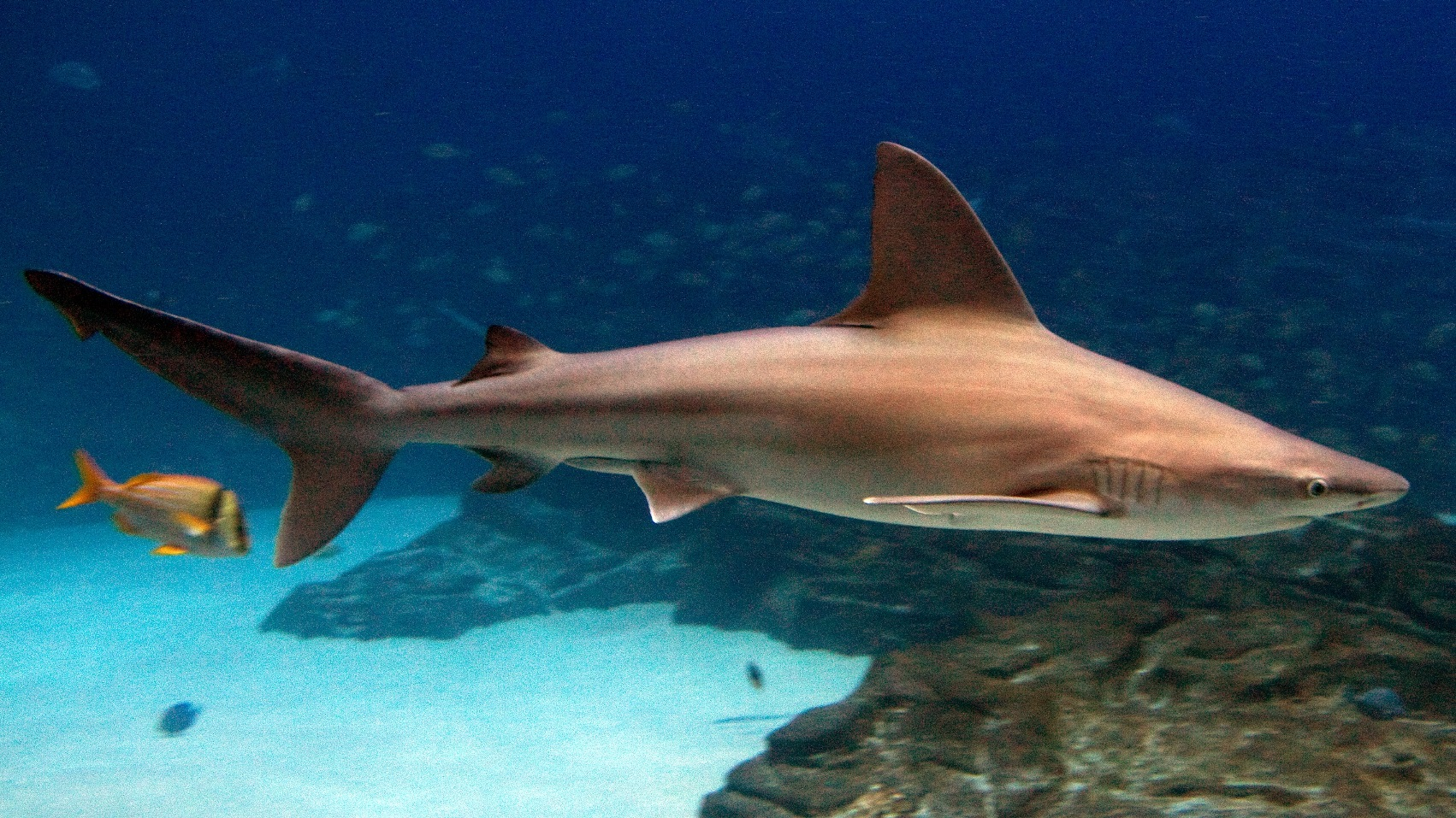 A sandbar shark (Carcharhinus plumbeus) swimming. These sharks inhabit coastal areas but dine on fish, crabs, and rays and are considered not dangerous to people. However, commercial fisheries targeted these sharks for their relatively large dorsal fins, and the species is now listed as vulnerable.