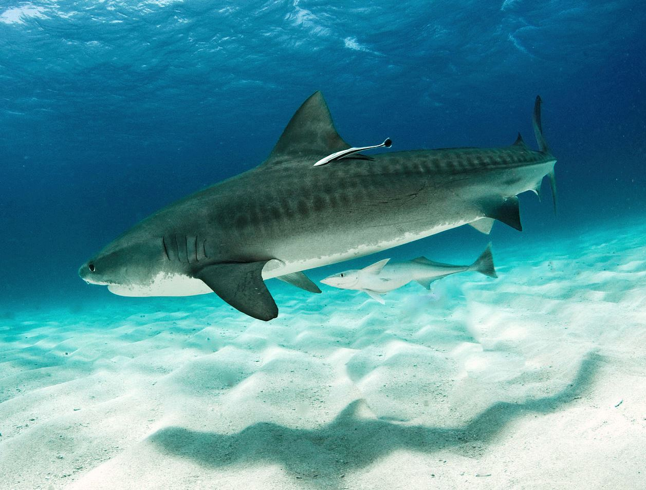 Tiger sharks, such as this one with remoras, have stripes on their sides that are most easily seen in younger sharks. Second only to white sharks in terms of the number of attacks on humans, tiger sharks actually feed on a wide range of prey, including fish, birds, seals, turtles, crustaceans, sea snakes, and smaller sharks.