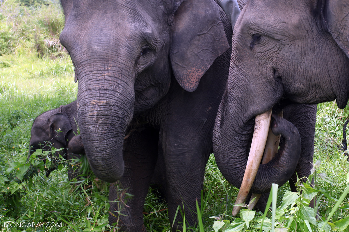 Sumatran elephants in Bukit Barisan National Park. Photo by Rhett A. Butler/Mongabay.