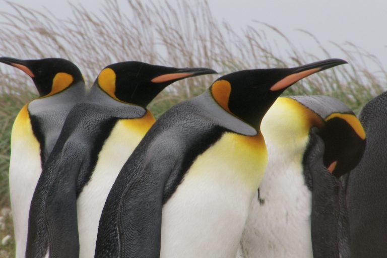 King penguins are from Chile and are the second largest of the penguin species standing nearly 3 feet tall. Credit: © David Oehler / WCS