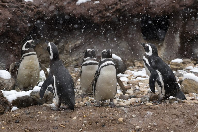 Magellanic penguins leave their coastal homes in Argentina, Chile, and the Falkland Islands in the winter and then return to the same burrows every year. Credit: Julie Larsen Maher ©WCS