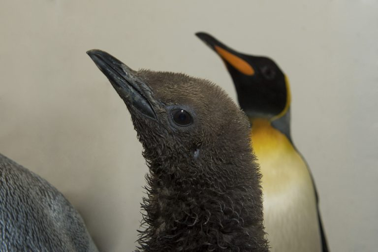 King penguin chicks are covered in fluffy brown down that is warm on land, but not when wet. The young birds can't go into the water until they have acquired their adult feathers. © Julie Larsen Maher / WCS