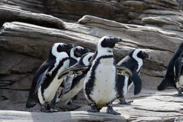 Black-footed penguins are also known as African or jackass penguins. They have a donkey-like bray and are found on the southwestern coast of Africa from Namibia to South Africa. Credit: Julie Larsen Maher ©WCS
