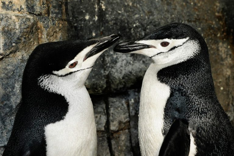 Chinstrap penguins are found in Antarctica and the world's other southernmost islands. Changing ocean conditions affect their main food source, krill. Credit: © Julie Larsen Maher / WCS